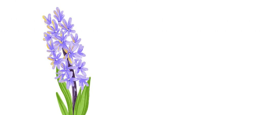 an illustration of of Hyacinth plant, a tall, purple plant with small buds and tall green leaves