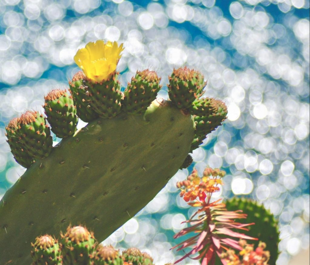 A cactus is in focus in the foreground with flowers on, the background is a bokeh effect ocean